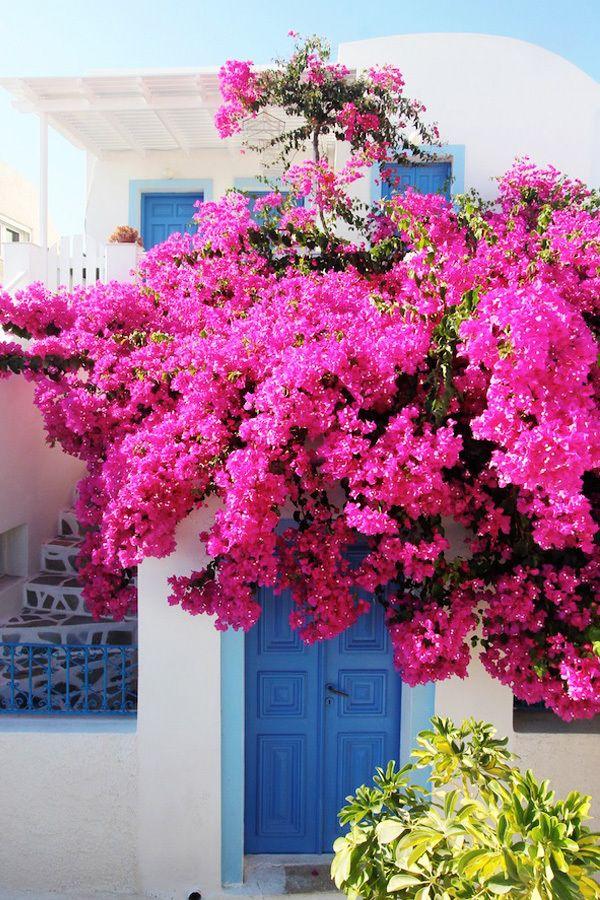 Pink Bougainvillea in Oia, Santorini