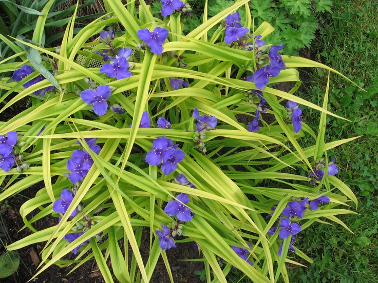 'Sweet Kate' Tradescantia is a hybrid spiderwort with ...
