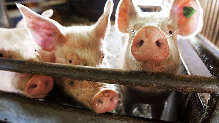 - Gravide bør dra på bondegård for å piffe opp immunsystemet - Aftenposten