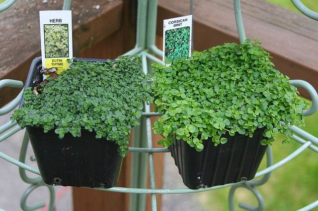 Elfin Thyme and Corsican Mint texture - perfect for bare feet ...
