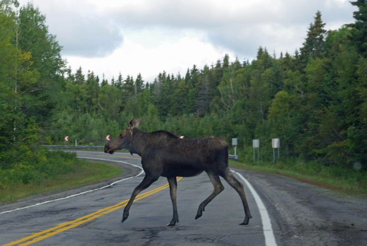 What an amazing shot!  Moose encounter in Forillon National Park Gaspe Quebec