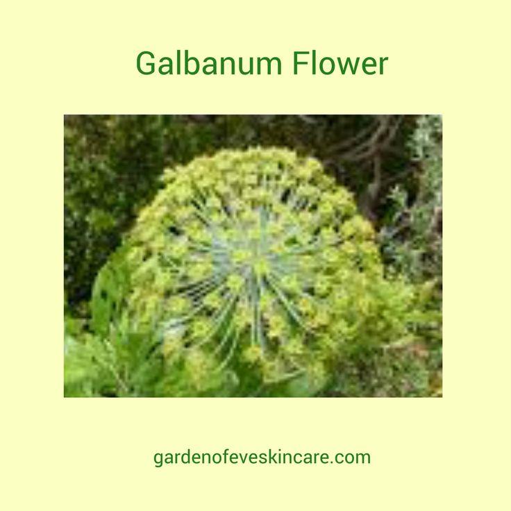 Galbanum: Ancient herb used for Medicinals, cosmetics and spiritual awakening, Article by Eve >> https://www.gardenofeveskincare.com/gdarticle/galbanum-ferula-galbaniflua.html