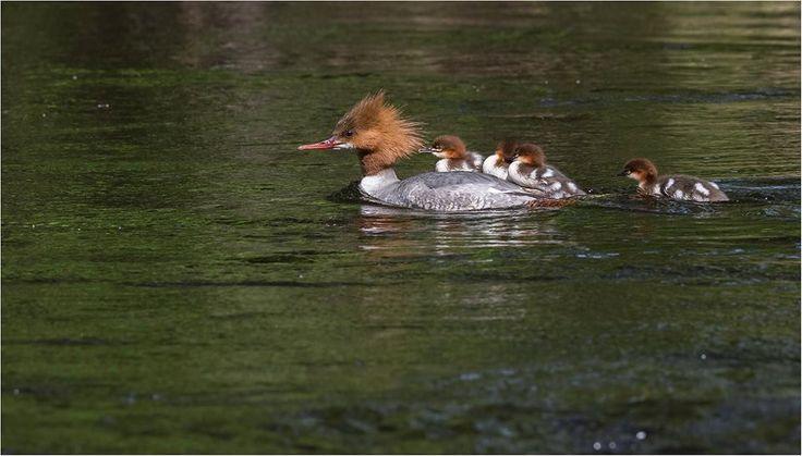 Isokoskelot, yksi poikanen ei mahtunut kyytiin, mutta hyvin näkyi sujuvan koskenlasku :) Kuva. Hannele Kaihola