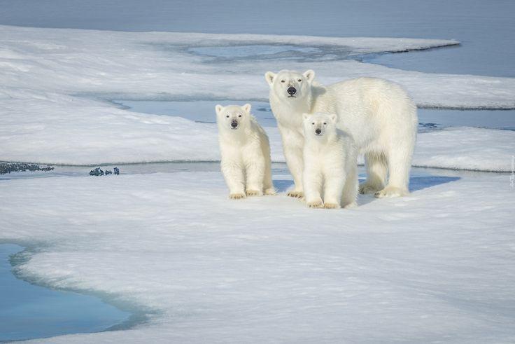 Niedźwiedzie, Polarne, Kra
