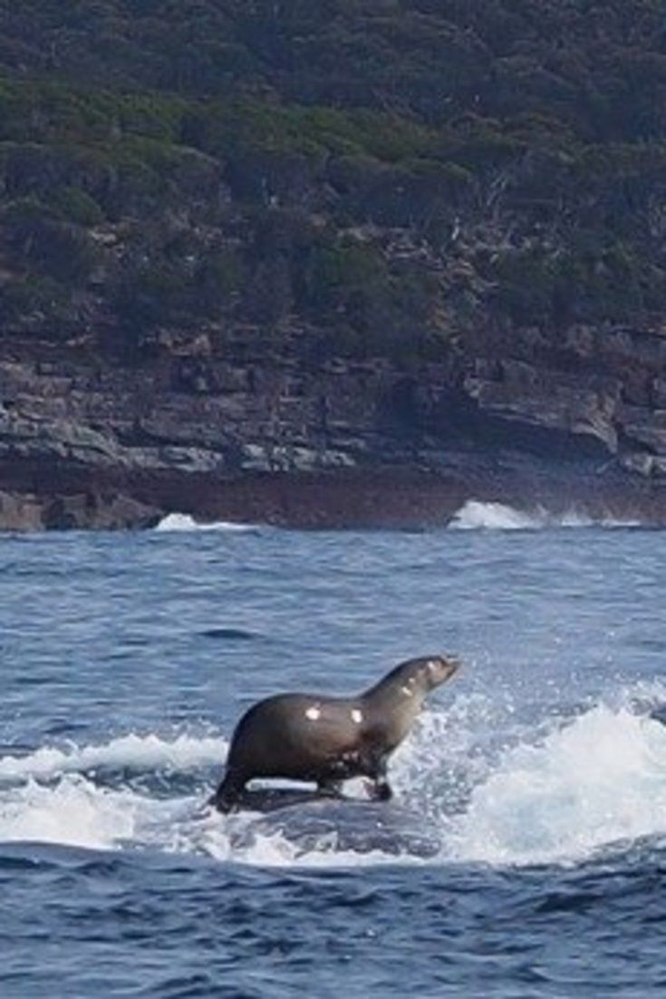 Seal Surfing On A Humpback Whale Is Riding In Style