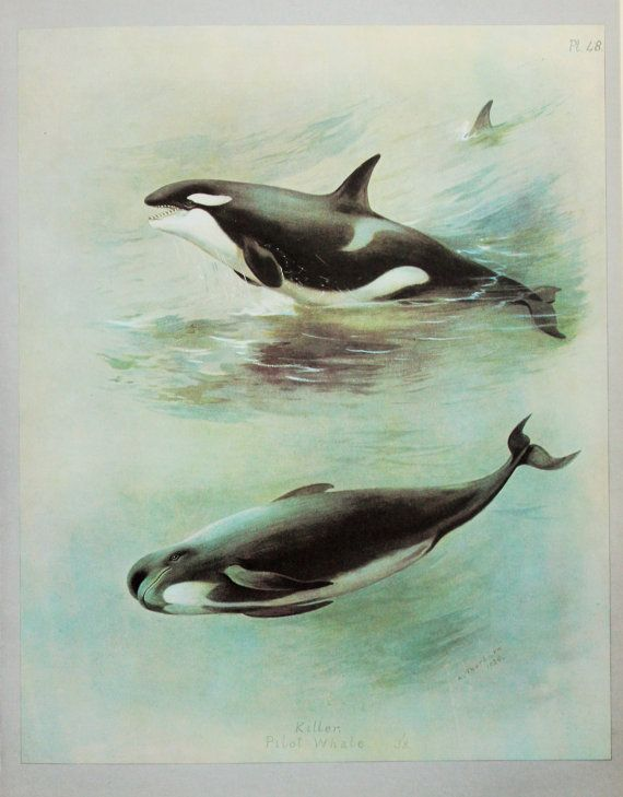 killer whale or orca pilot whale print vintage colour print by archibald thorburn my spirit animal orcaskiller whales pinterest pilot whale and