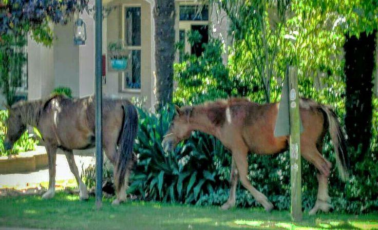 Wild horses traipsing through the village.