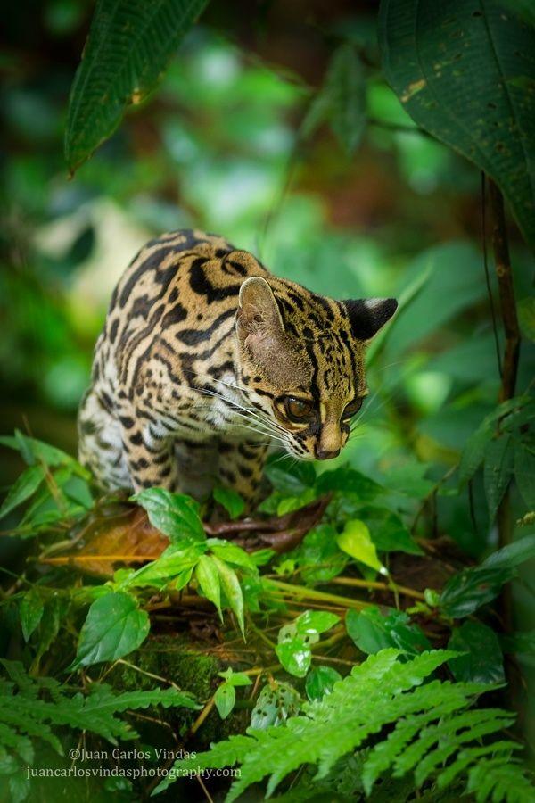 Margay (Leopardus wiedii) resting on forest floor
