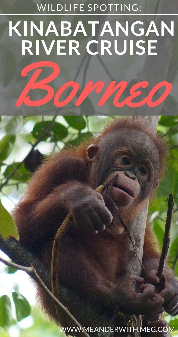 What to do on a Kinabatangan River Cruise in Borneo. Take a trip to this beautiful region of Sabah in Malaysia and spot orangutan, pygmy elephants and proboscis monkeys. In this blog post I tell you how to get to the Kinabatangan River from Sandakan and all that you can expect from booking a river cruise.