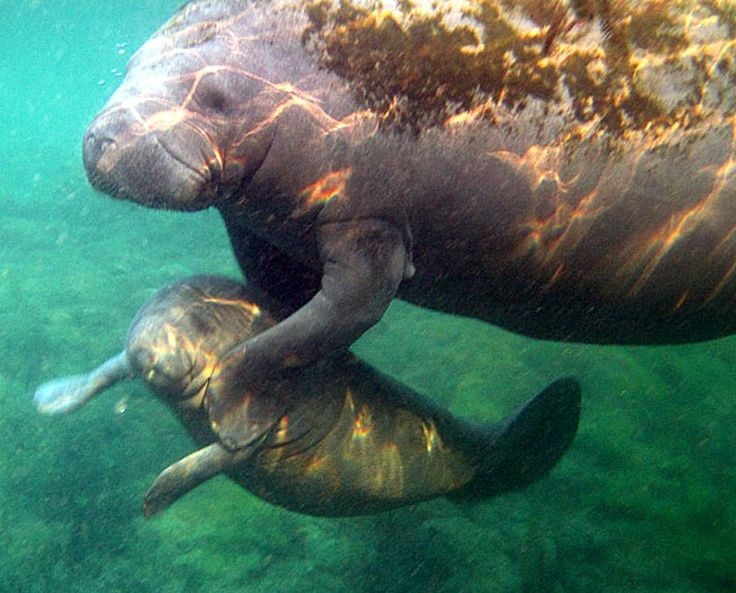 Image Result For Why Can T You Touch A Manatee With Images Manatee Florida Crystal River Florida Swimming With Manatees