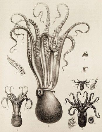 Scientific Illustration   kizioko: squid art (by Vintage Collective)