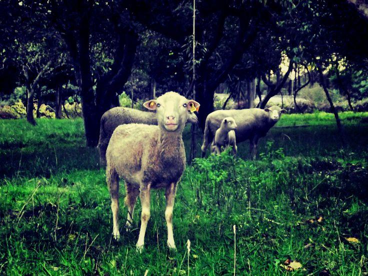 SHEEPPPPPPPPP SHEEPPPPPPPPP SHEEPPPPPPPPP (Where? - Torre - Viana do Castelo - Portugal)