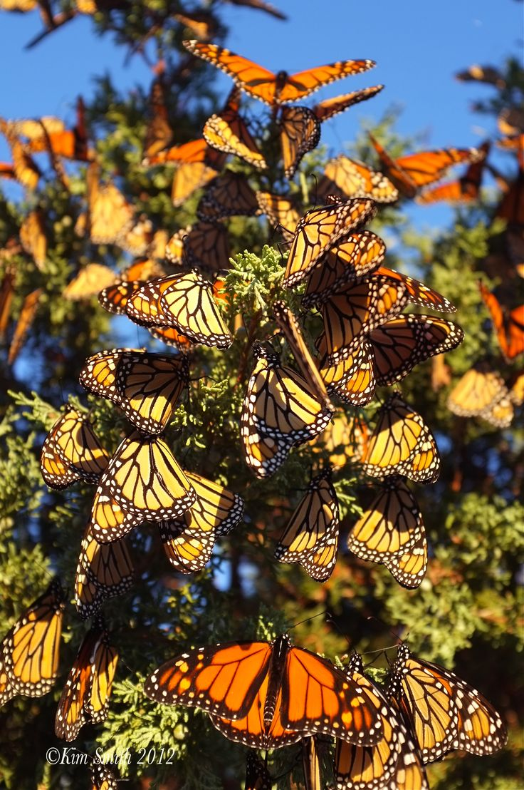 Monarch Butterfly Biosphere Reserve. Michoacan, Mexico. Last visited ca. 1997