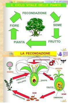 Mappa Concettuale: Il ciclo vitale delle piante #schema #scienze #appunti