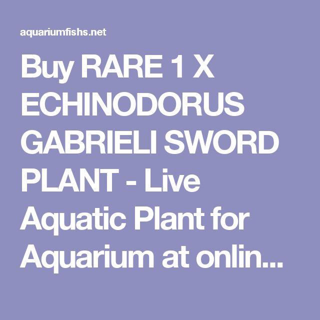Buy RARE 1 X ECHINODORUS GABRIELI SWORD PLANT - Live Aquatic Plant for Aquarium at online store