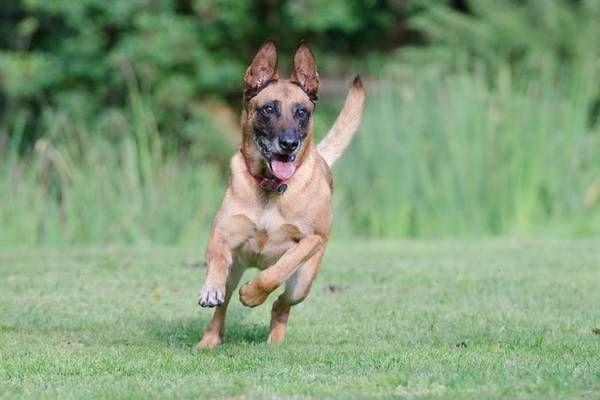 Hermagor Hundebiss Diensthund Biss Jungen 5 Bei Ubungstraining Diensthunde Belgischer Malinois Und Hunde
