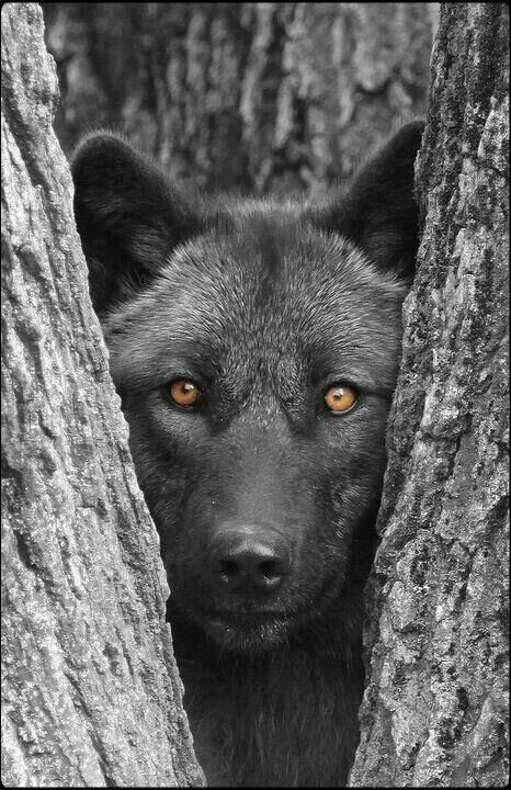The gray wolf... http://BlueChipMoney.com