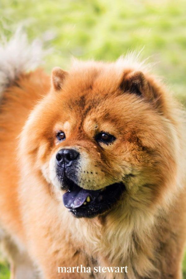 The Quietest Dog Breeds That Aren T Likely To Bark Quiet Dog Breeds Dog Breeds Breeds