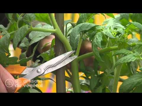 How to prune tomato plants, completely in French. For listening practice.