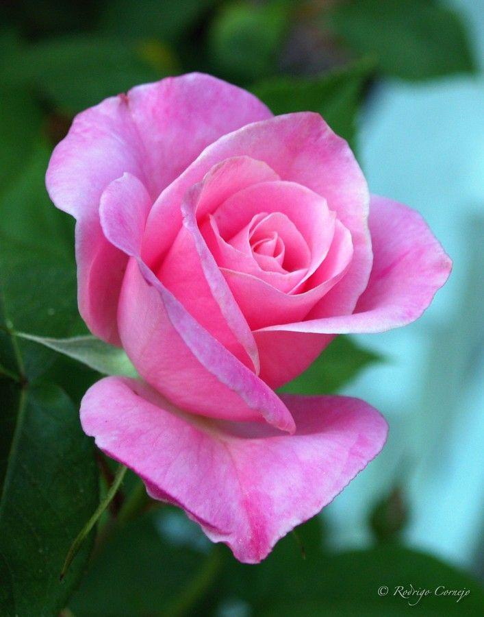 Pink Rose by Rodrigo Cornejo on 500px
