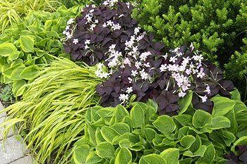 'Golden Tiara' with variegated golden hakone grass and purple shamrock, perennials rock! landscaping, gardening