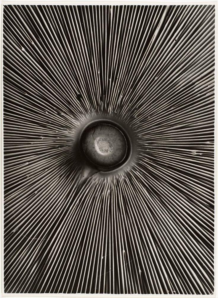 The Metropolitan Museum of Art - Fungi Lepiota procera