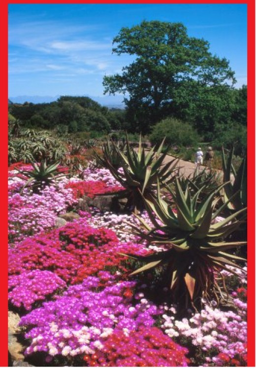 Cape Town, Kirstenbosch Botanic Garden, and the Western Cape. Kirstenbosch Botanic Garden The mesemb banks, Kirstenbosch Botanical Garden, Cape Town