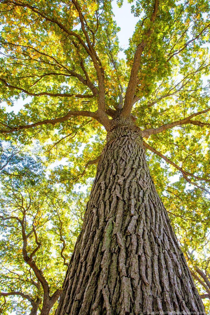 Quercus bicolor – Swamp White Oak tree; Arnold Arboretum