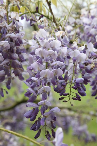 Buy Chinese wisteria Wisteria sinensis 'Amethyst': Delivery by Crocus.co.uk