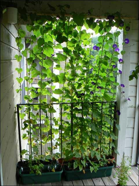 Morning glory balcony or window privacy | small space gardening