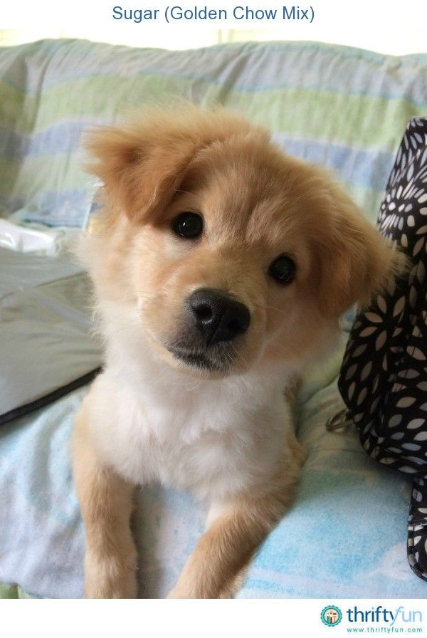 Sugar Golden Chow Mix Chow Chow Dog Care Puppies