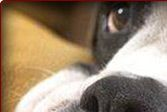 Legacy Boxer Rescue - Serving the Dallas-Ft. Worth (DFW Metroplex) area of Texas