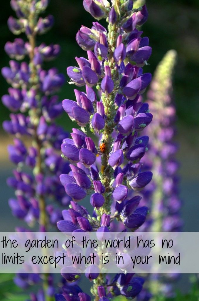 the garden of the world has no limits except what is in your mind - Rumi (lupine photo) [success visualization]