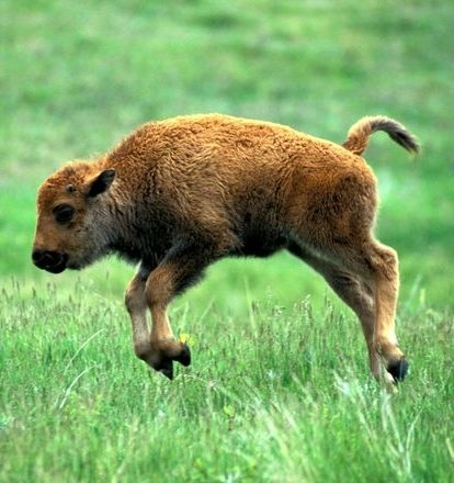 Baby bison getting some air.