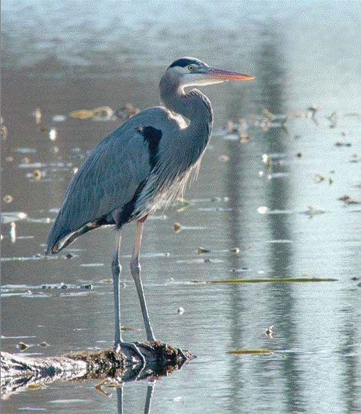 cool steel blue 15 best blue heron images on pinterest   blue heron grey heron      rh   pinterest