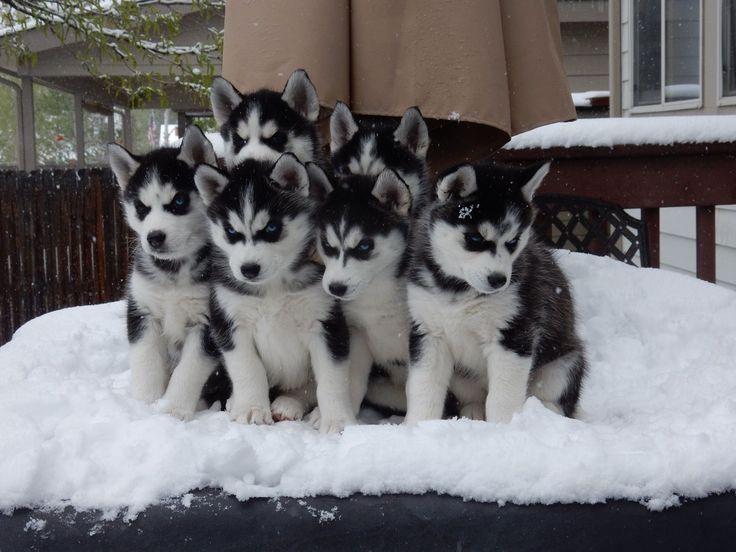 Siberian Husky puppies ♡pinterest↠ berrywifee #SiberianHusky