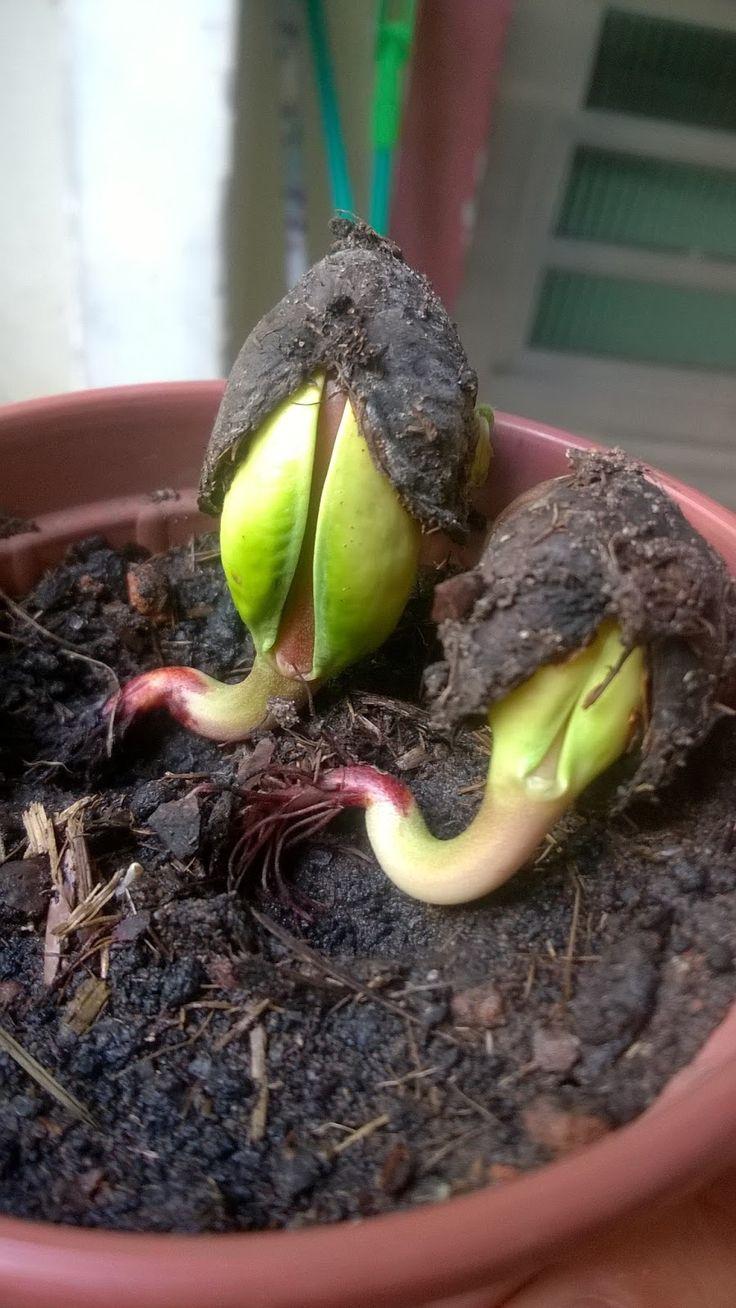 A fruta do cajueiro e a castanha de caju são ótimas para a saúde, para além de serem uma delícia! Aprenda a plantar cajueiro conosco! #caju #cajueiro #plantar #horta