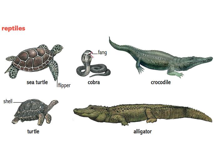 Reptile features | English for Kids | Pinterest | Reptiles