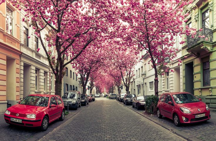 "Avenue of cherry trees in Bonn, Germany. ""Red Cars and Cherry Blossoms"" by Marcel Bednarz,"