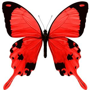 red butterfly images - Yahoo Search Results