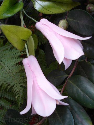 Copihues rosados