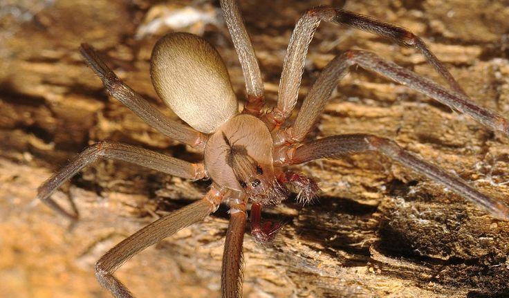 Brown Recluse Spider - Facts, Bite, Pictures & Habitat