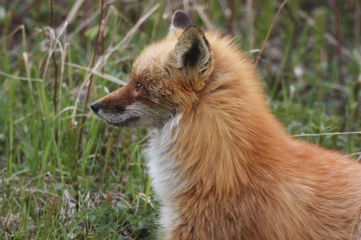 Foxes on Kalgin island, Alaska