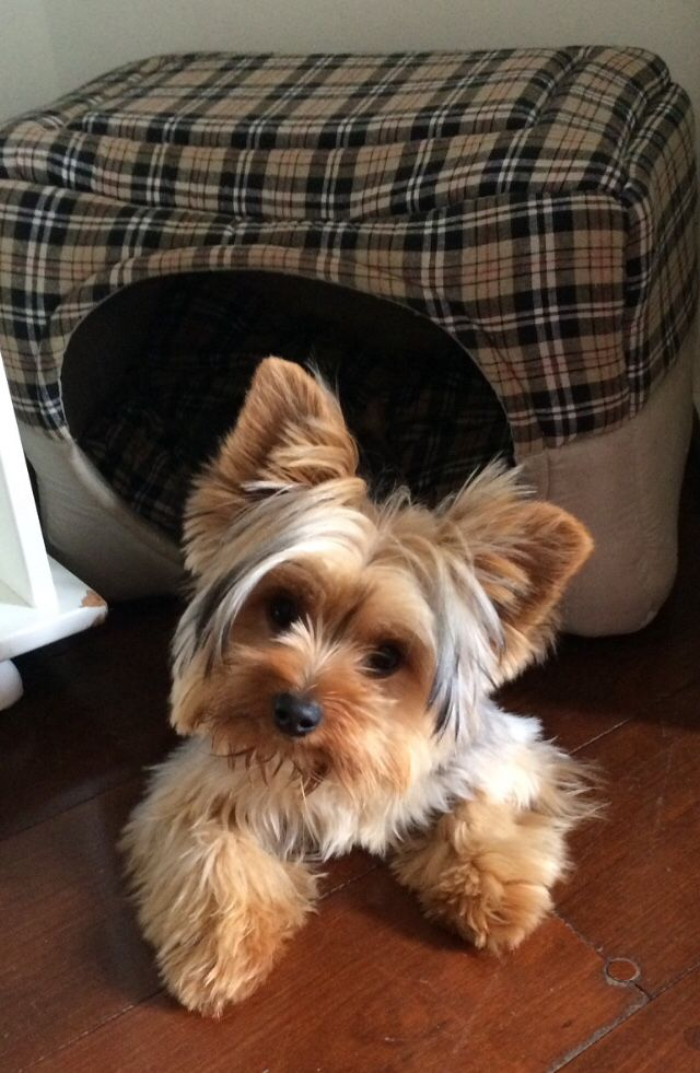 So typical of Yorkies, that angle of their heads when they are trying to understand you when you're talking to them.  They are very intent listeners!