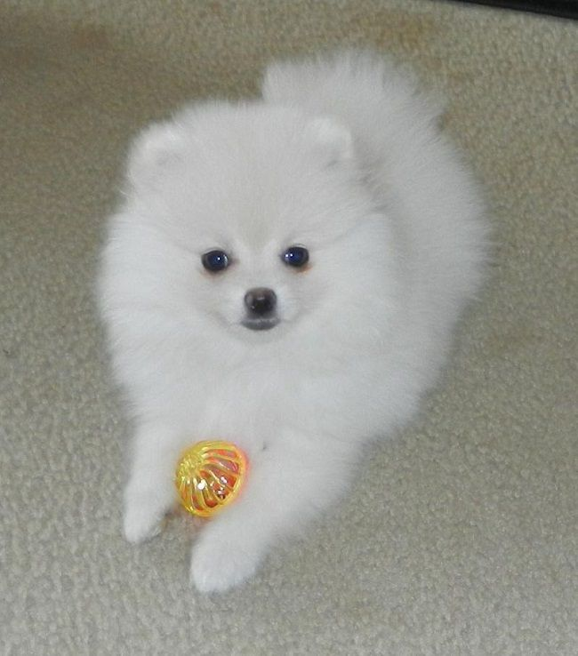 Cheap Toy Dogs : Best elegant pomeranian puppies for sale images on