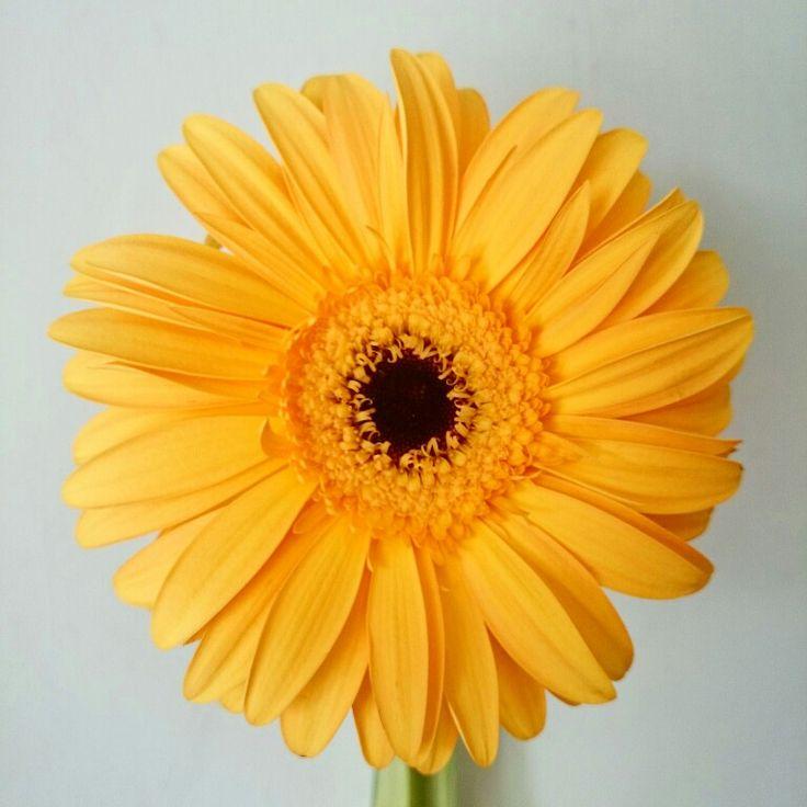 #gerber #gerbera #yellow #likesun #flower