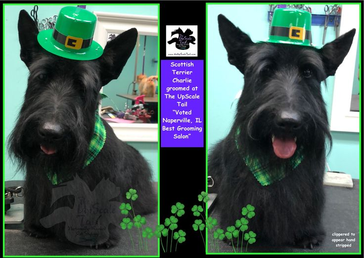 4257 best scotties images on pinterest scottie dogs scottish all breed grooming at the upscale tail voted naperville il pet best grooming salon solutioingenieria Image collections