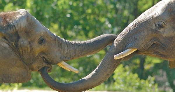 10 extraordinary facts about elephant trunks : TreeHugger