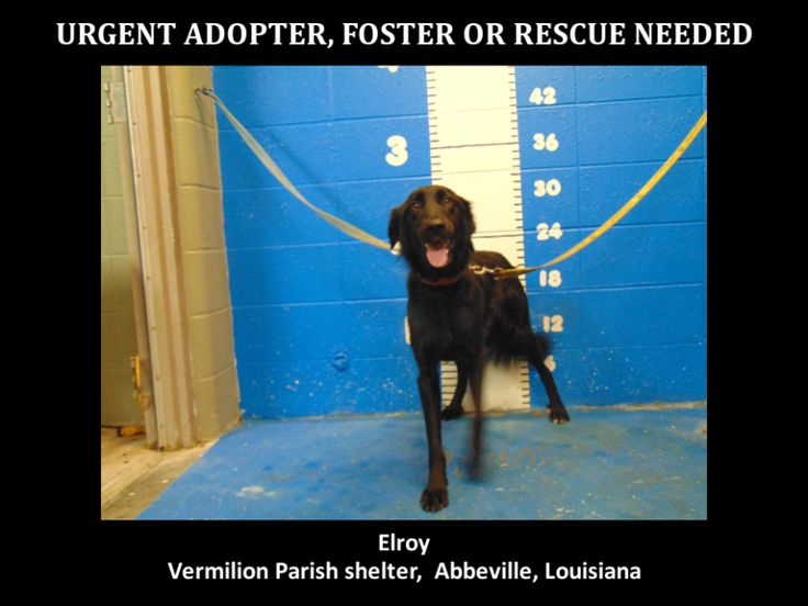 8\/26\/15-O Elroy is a male border collie and retriever mix and is 4 yrs old and weighs 40.2 lbs.Will be available 8\/31\/15.\r\nhttps:\/\/www.youcaring.com\/aava-421010\r\n\r\n*Please note this animal is not with AAVA - we are networking for rescue as the liaison for the shelter* This baby is in a kill shelter in Abbeville, LA which does not allow \r\n\r\npublic adoptions. Animals must be pulled by an approved rescue or can be adopted through AAVA.\r\n\r\nT...