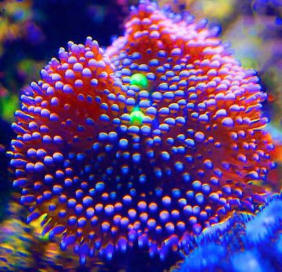 Mushroom Corals for Sale | Ricordea mushroom, ricordia, shroom, frags, coral For Sale - New and ...